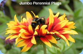 Jumbo Perennial Plugs - Gaillardia with Bee